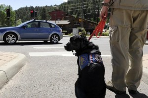 EVERGREEN, CO - JUNE 18: Matilda II, a five-year-old service dog, stands with her owner, Kyle Walpole, at an intersection near downtown Evergreen on June 18, 2014, in Evergreen, Colorado. Matilda was paired with Walpole three years ago to help him with his hearing impairment. The Jefferson County Sheriff's Office recently published a newsletter citing the problem of non-certified service animals and its intent to investigate the rising issue. (Photo by Anya Semenoff/The Denver Post)